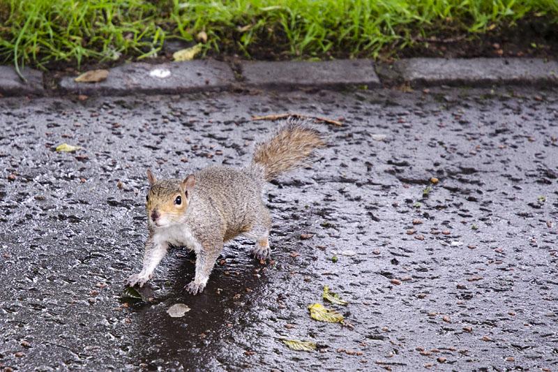 Eichhörnchen in Edinburgh
