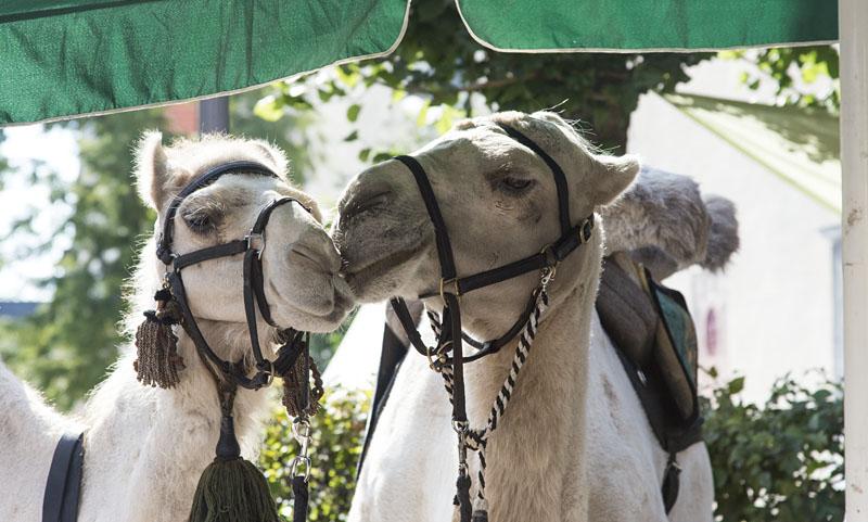 Kamel und Dromedar