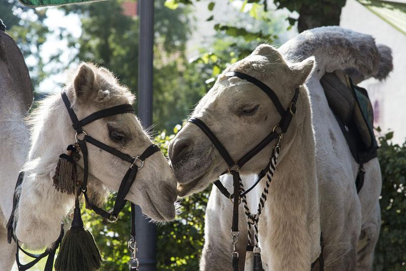 Kamel und Dromedar beim mittelalterlichen Fest Schongauer Sommer