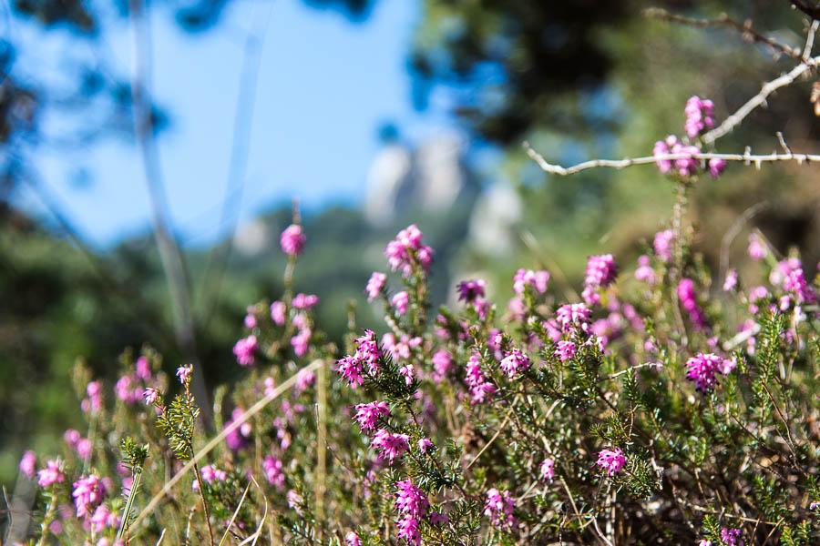 Heidekraut am Wegesrand der Wanderung Limone - cima Mughera - Baita Segala