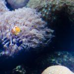 Clownfisch Oceanografic Valencia