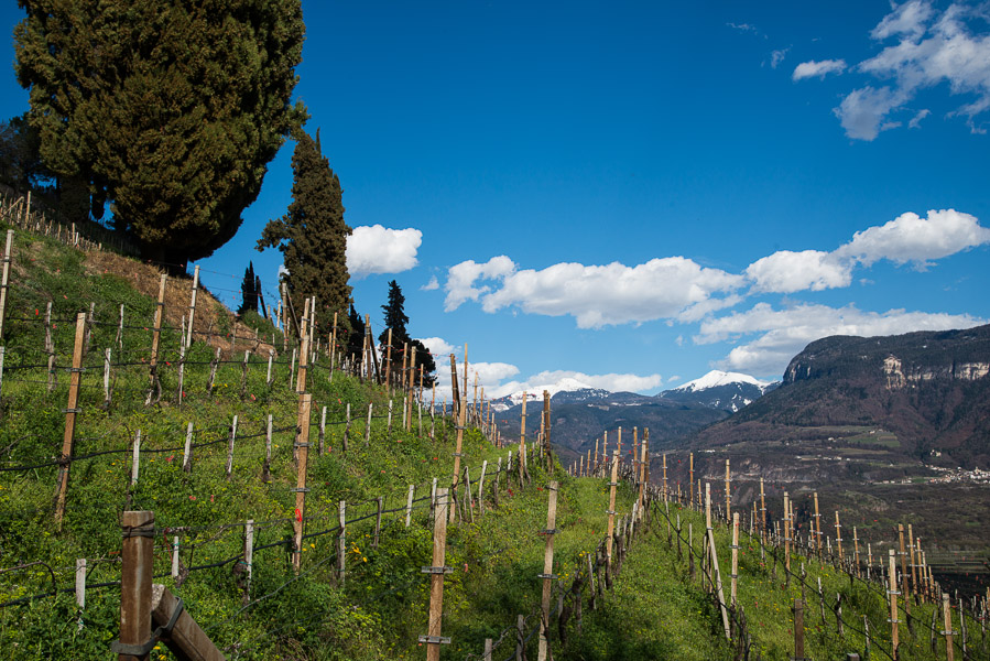 Weinberge vor weißen Dolomitengipfel