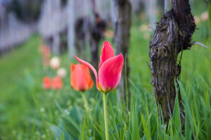 Tulpen in den Weinbergen von Tramin