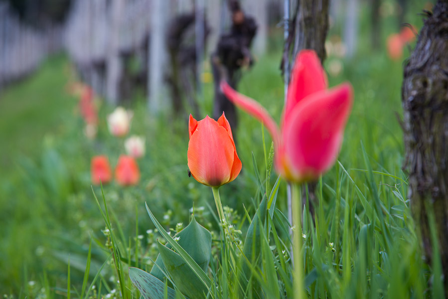 Tulpen im Frühling in Tramin