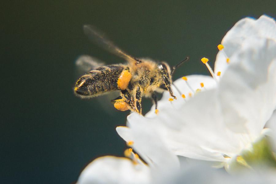 Kirschbaumblüte mit Bienen