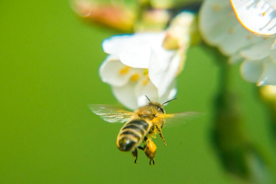 Fleißige Bienen beim Honig sammeln