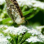 Schmetterling Perlmuttfalter