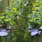 Erdbeerplantage