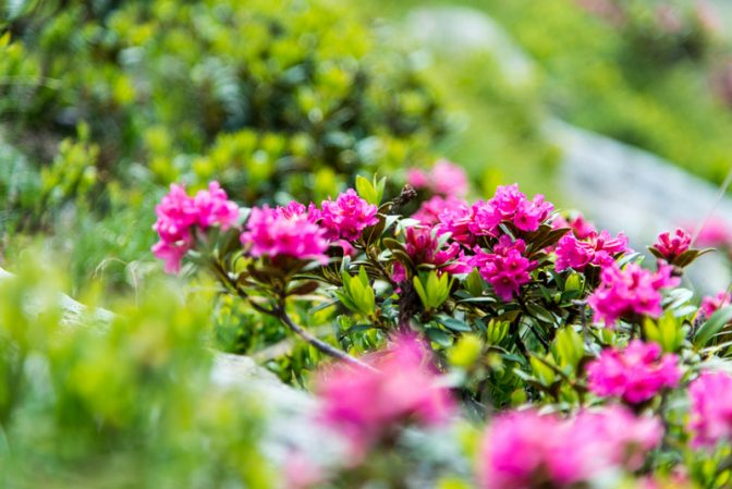 Alpenrosen auf der Hirzer Alm