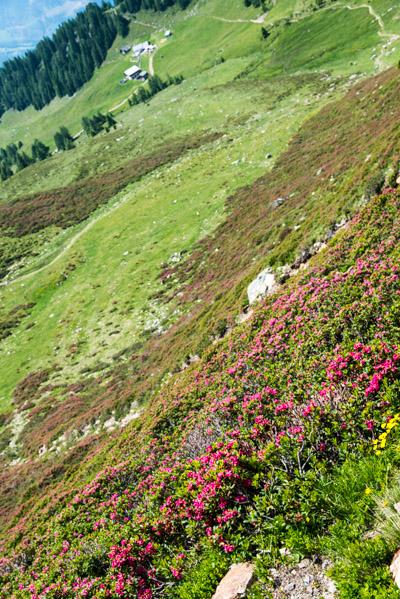 Alpenrosen und Mahdalm