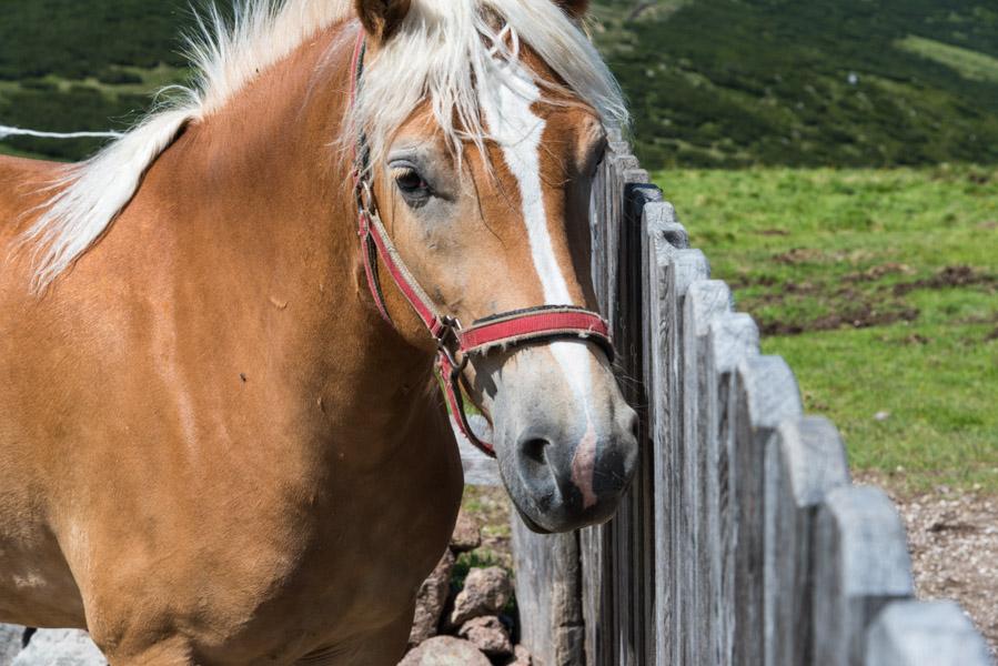 Pferde Rittner Horn