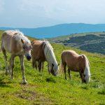 Wanderung Rittner Horn Pferde