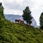 Haflinger Pferde am Pass Forc dal Pief