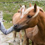 Anni mit Haflinger Pferde im Pfossental