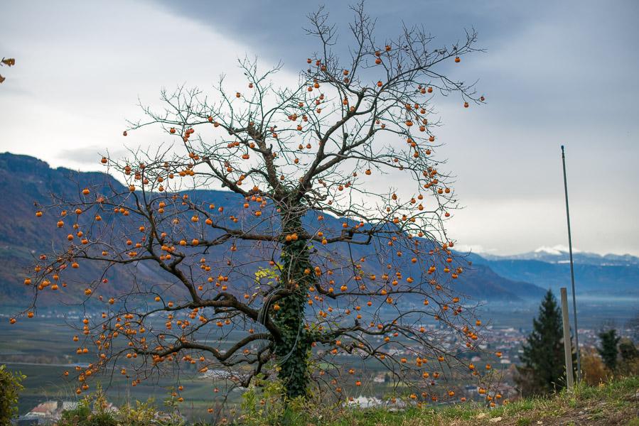 Kaki Baum hoch über dem Burggrafenamt