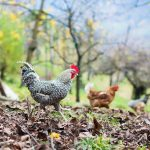 Gigger (Hahn) und Hennen