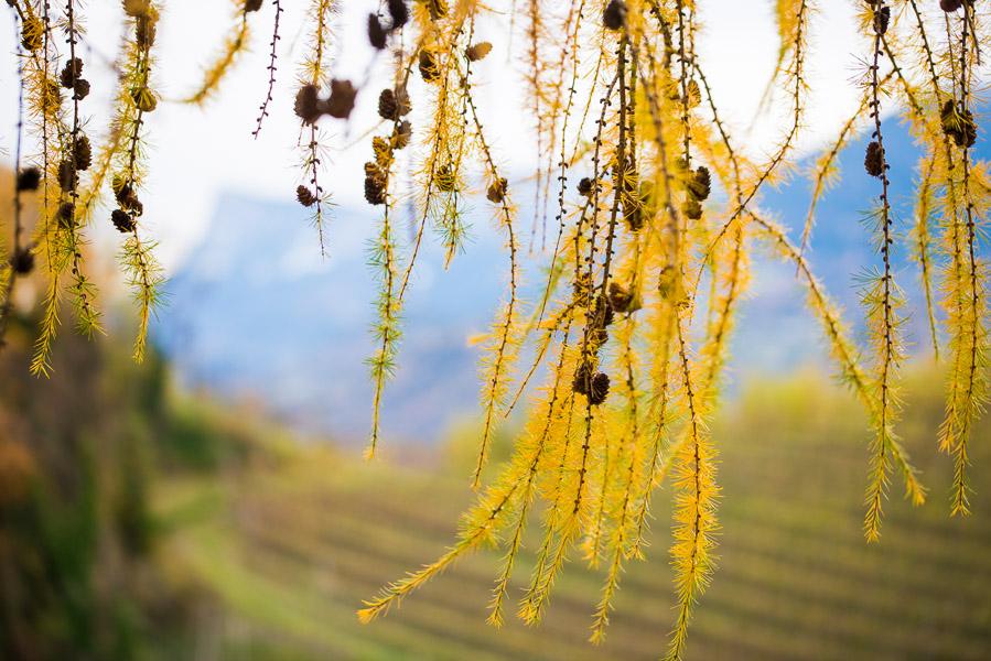 Goldgelbe Lärchenzweige im Herbst