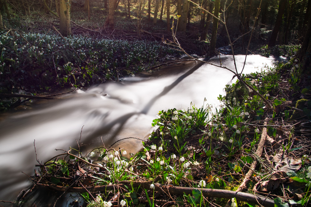 Schneeglöckchen am Angelbach im Frühlingstal