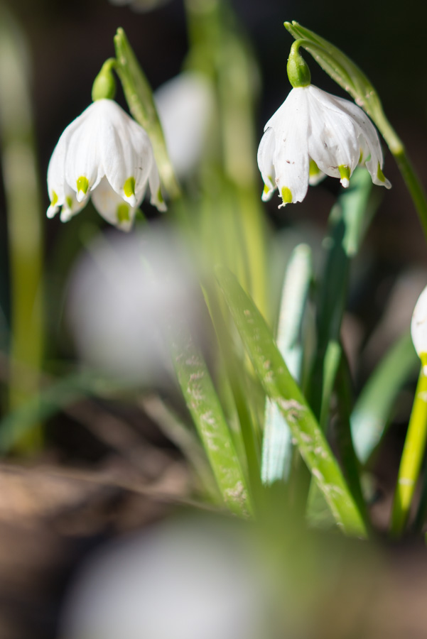Schneeglöckchen im Frühlingstal