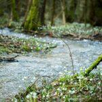 Schneeglöckchen im Frühlingstal am Angelbach