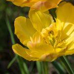 Gelbe Tulpe im Frühling