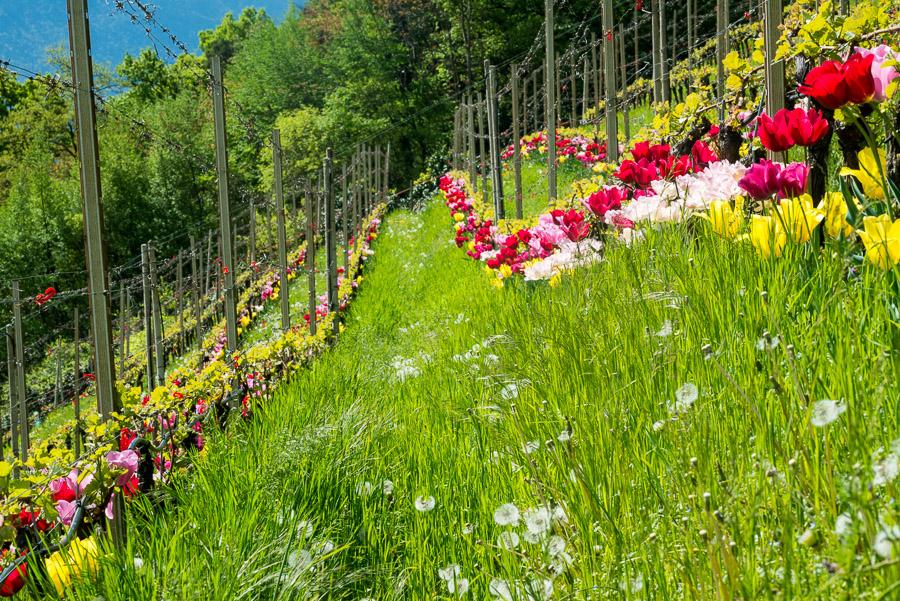 Reberziehung mit Spalier und Tulpen