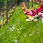 Die Tulpen am Giggerblick über Tramin