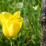 Gelbe Tulpe mit Rebe