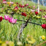 Tulpen in einem Rebberg bei Tramin