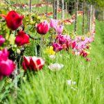 Tulpenpracht in einem Weingarten bei Tramin