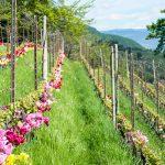 Tulpen in einem Weingarten bei Tramin