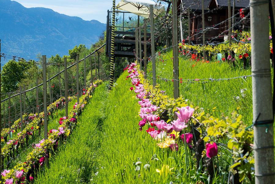 Weinberg mit Tulpen am Giggerblick über Tramin