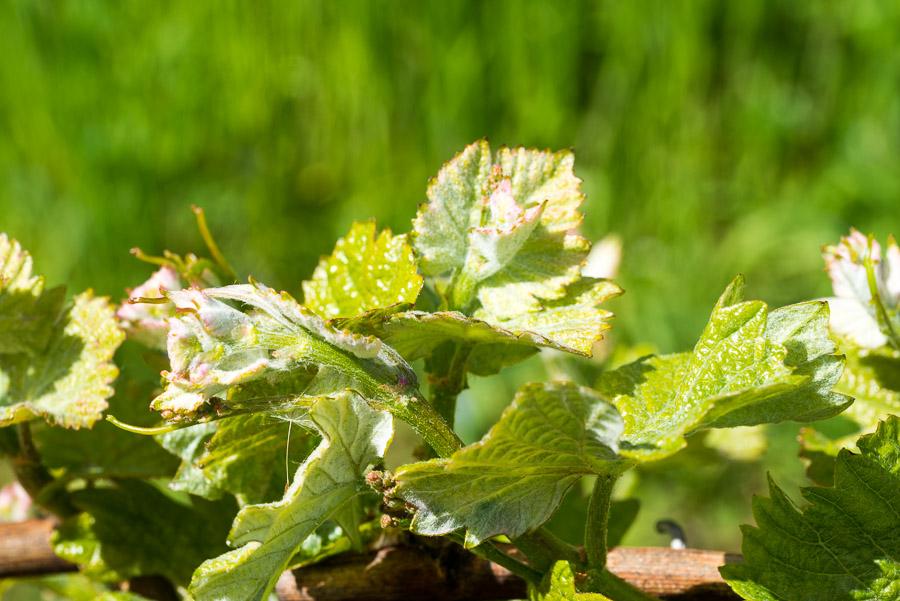 Blätter der Weinrebe