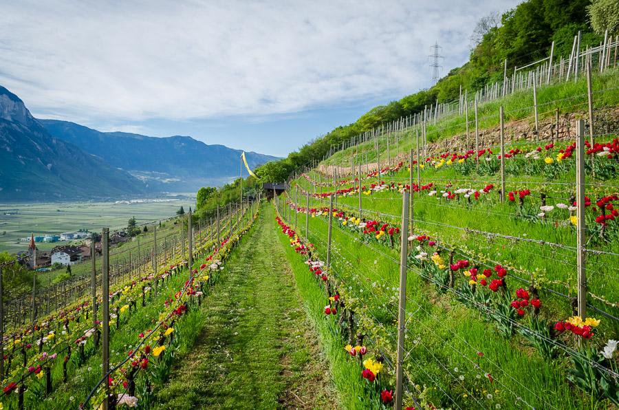 Tulpen in Weinberg in Tramin an der Weinstraße