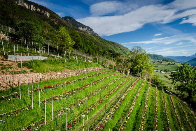 Tulpen im Weinberg des Günter Bologna