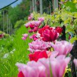 Tulpen und Reben
