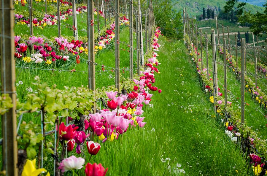 Weinbau Spalierzeile mit Tulpen