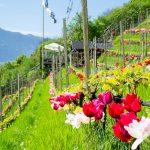 Rote Tulpen am Giggerblick über Tramin