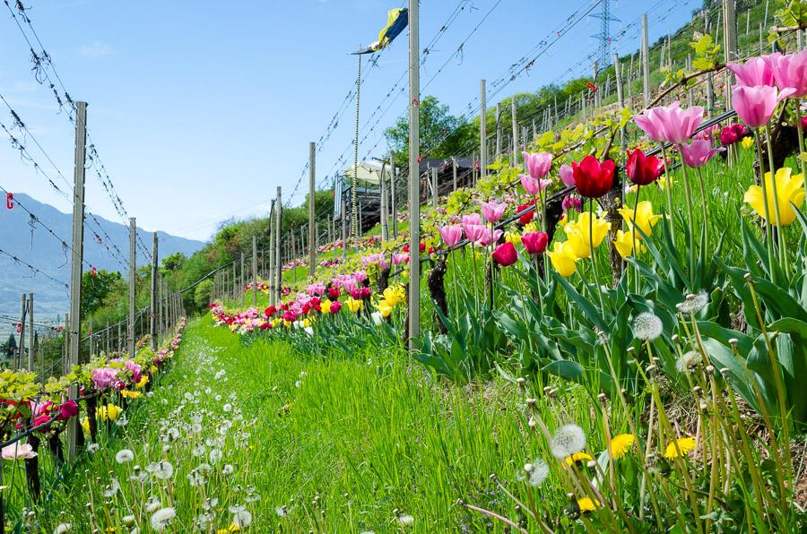 Bunte Tulpen im Weingarten des Günter Bologna