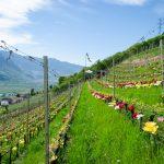 Tulpen und Rungg im Frühling
