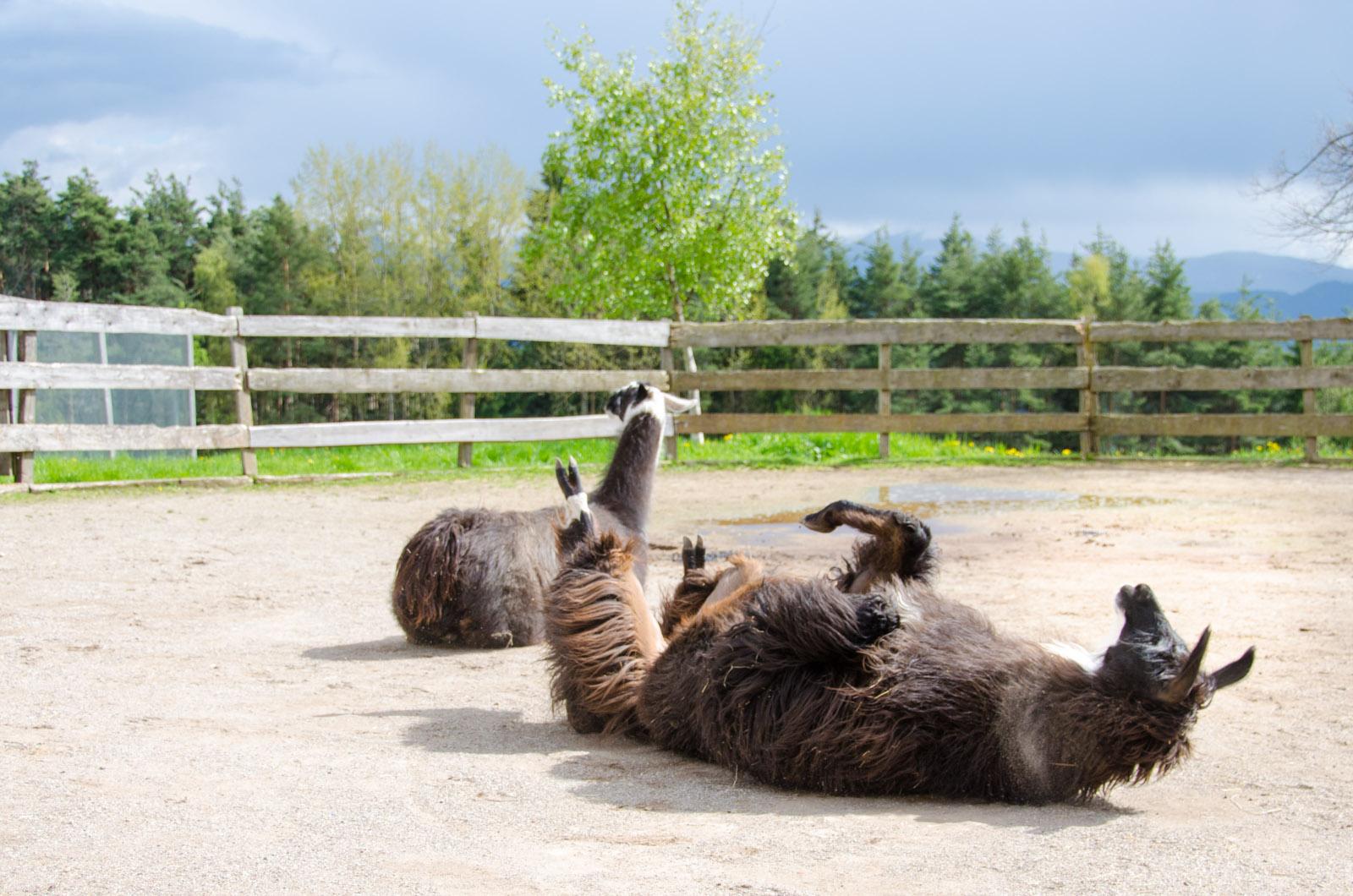 Lamas am Kaserhof in Oberbozen
