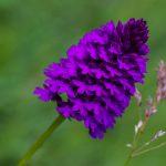 Breitblättrige Knabenkraut - Orchidee