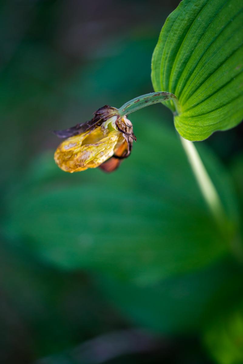 Frauenschuh, Orchidee, alt