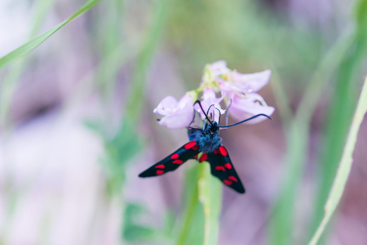 Schmetterling Rot Widderchen
