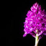 Breitblättrige Knabenkraut, Orchidee
