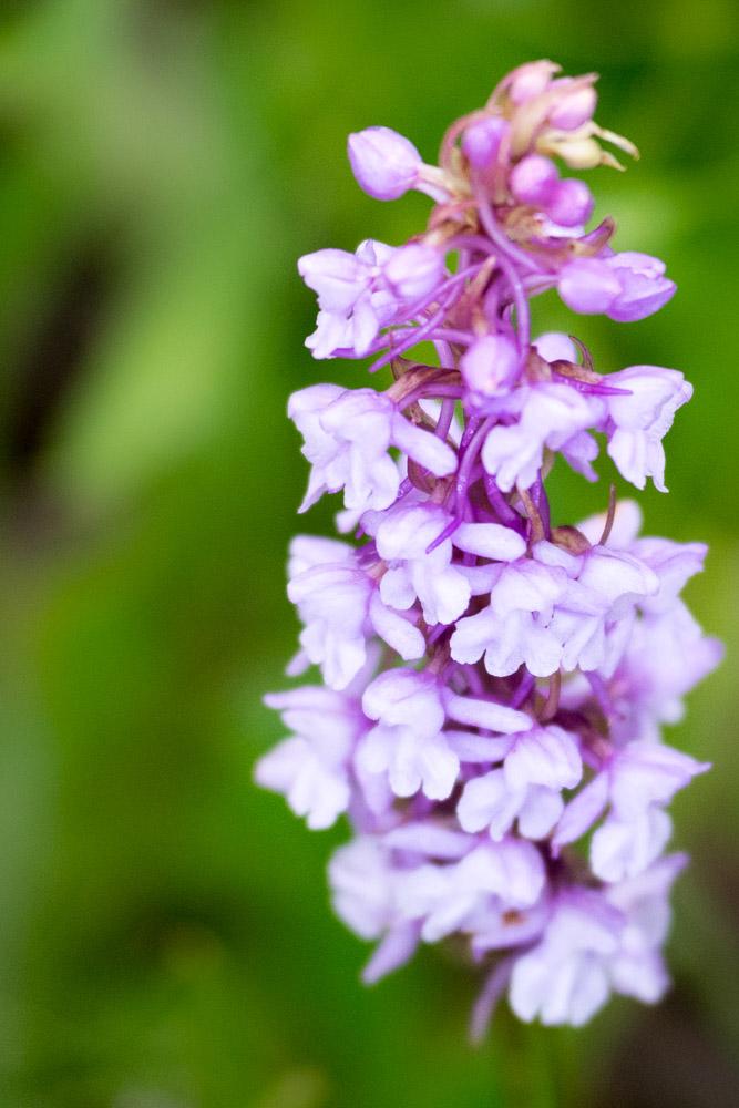 Breitblättriges Knabenkraut, Orchidee
