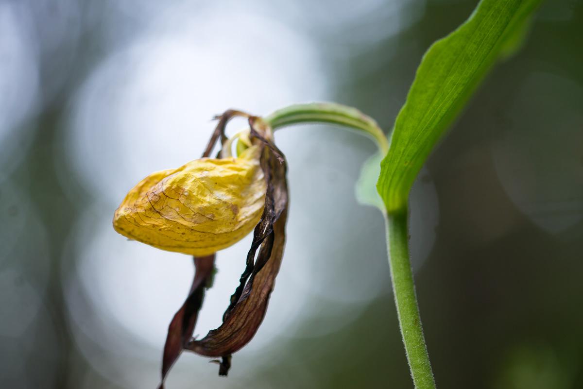 Alter Gelber Frauenschuh (Orchidee)