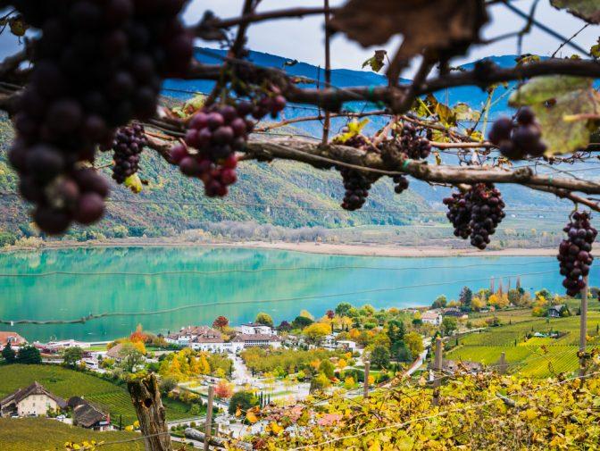 Vergessene Trauben über dem Kalterer See
