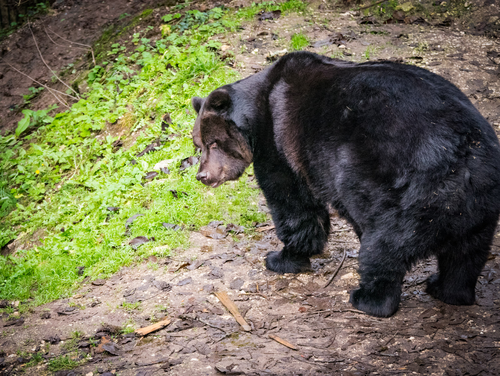 Braunbär Bruno der Bär von San Romedio