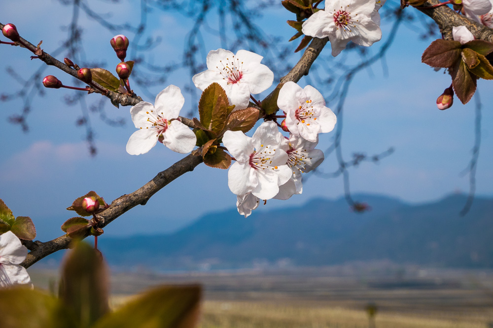 Mandelblüte mit Blick zum Kalterer See
